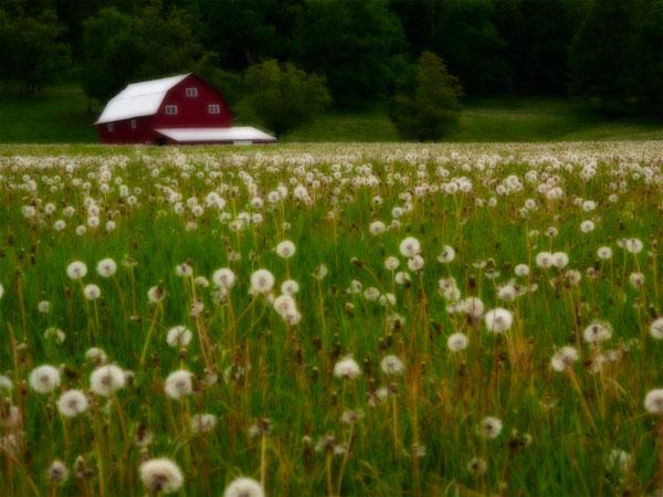 Emi Wallace – Dandelion Barn