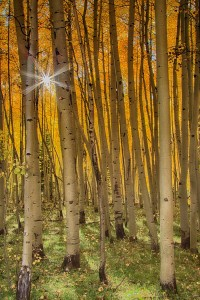 Terry Luettinger-Aspen Glow, Fall Color in Colorado