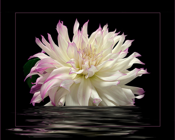 Digital3_Kieu-hanh Vu_Dahlia reflection