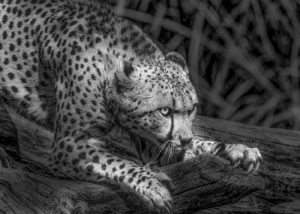 Kacy Turner – Cheetah (National Zoo)