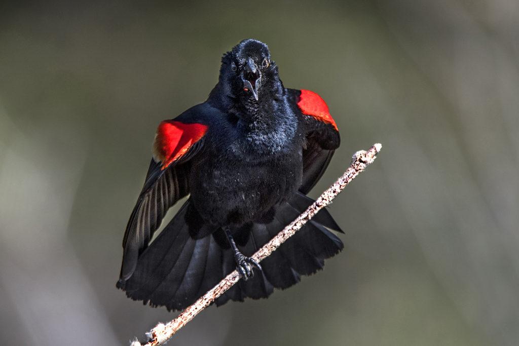 ag-blackbird160420-1024x683.jpg