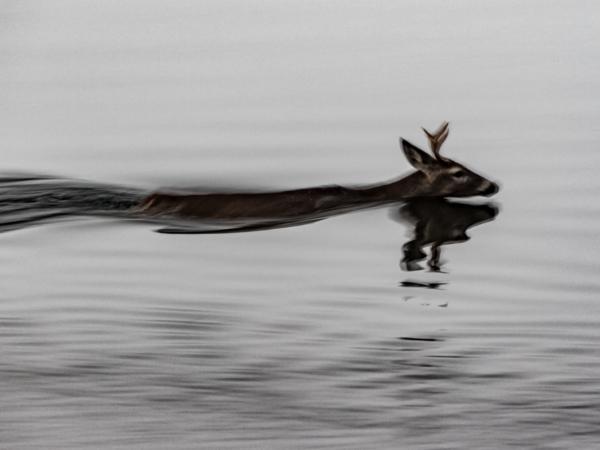 Class2_David L Crooks_Swimming deer