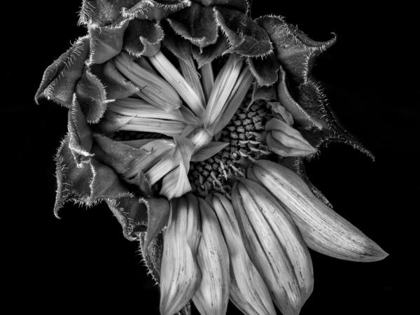 Sunflower Still Life 11_17 copy