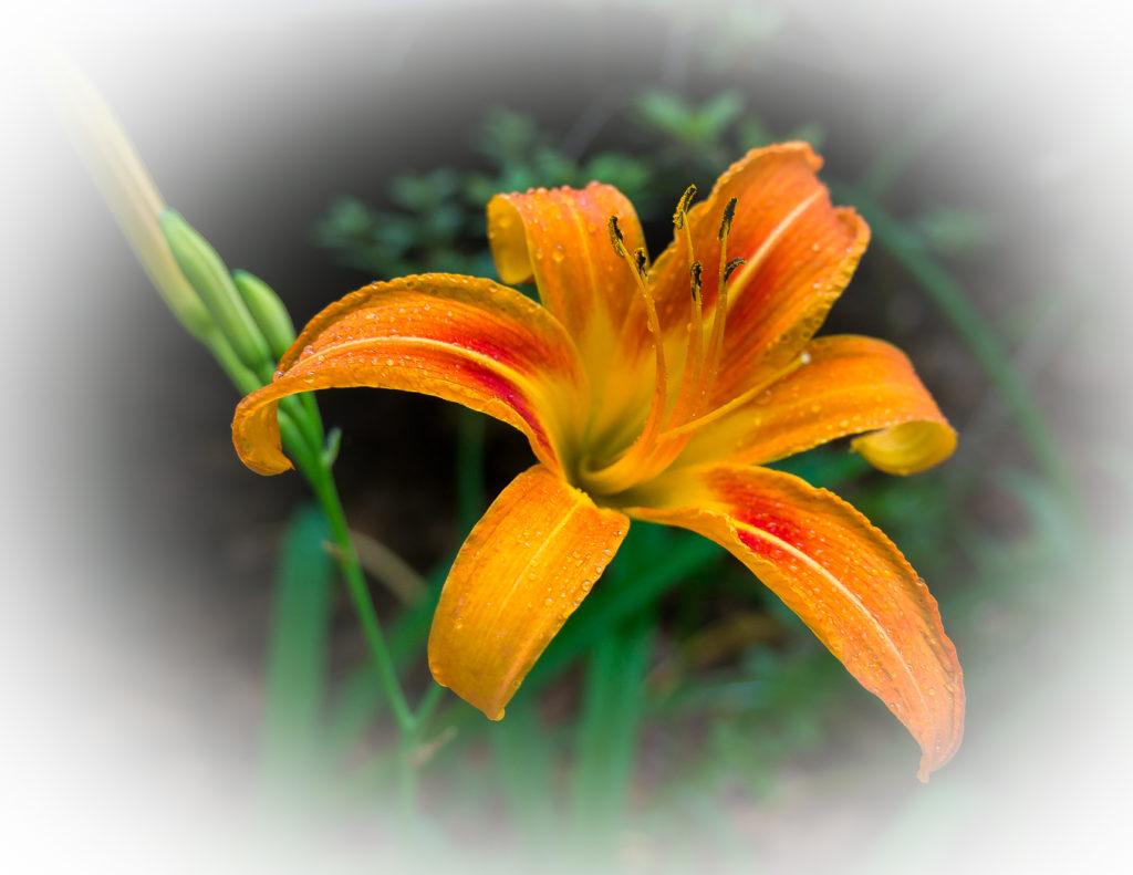 The-Lily-1024x791.jpg