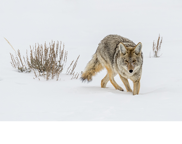 Color3_1st_Stan Bysshe – Yellowstone Coyote_600x475