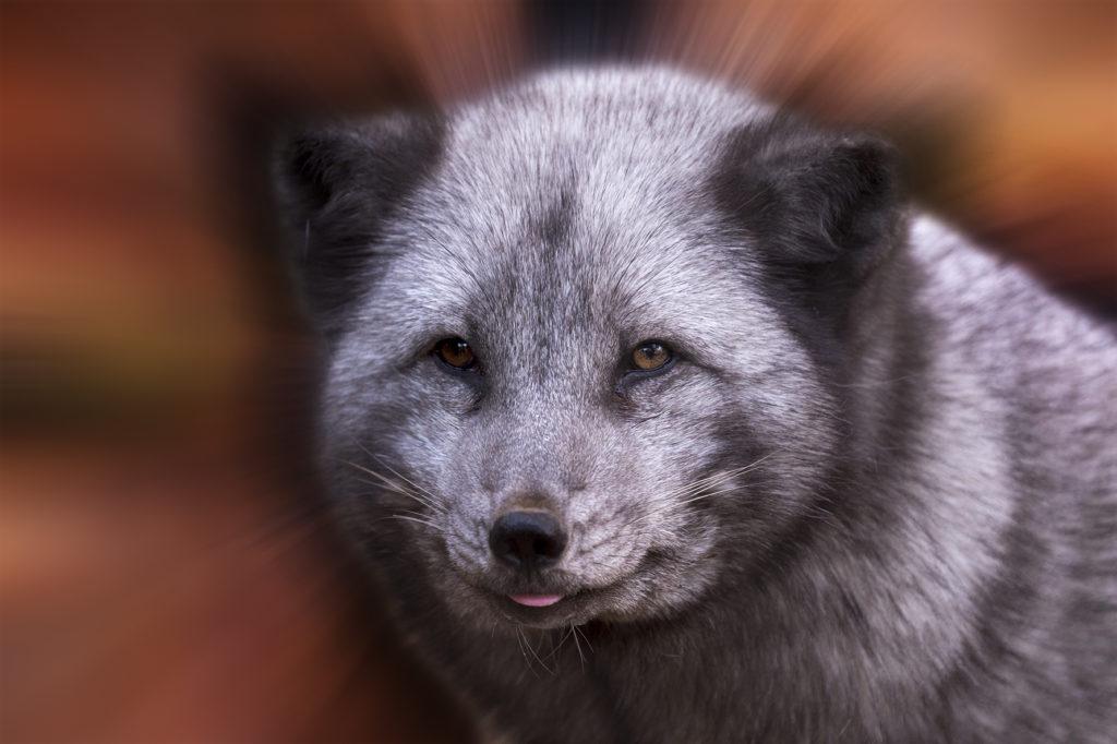 Artic-Fox-1024x682.jpg