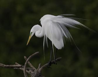 Feldman Egret